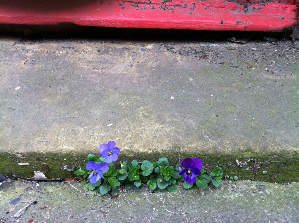 Alice Fox pansies in the cracks