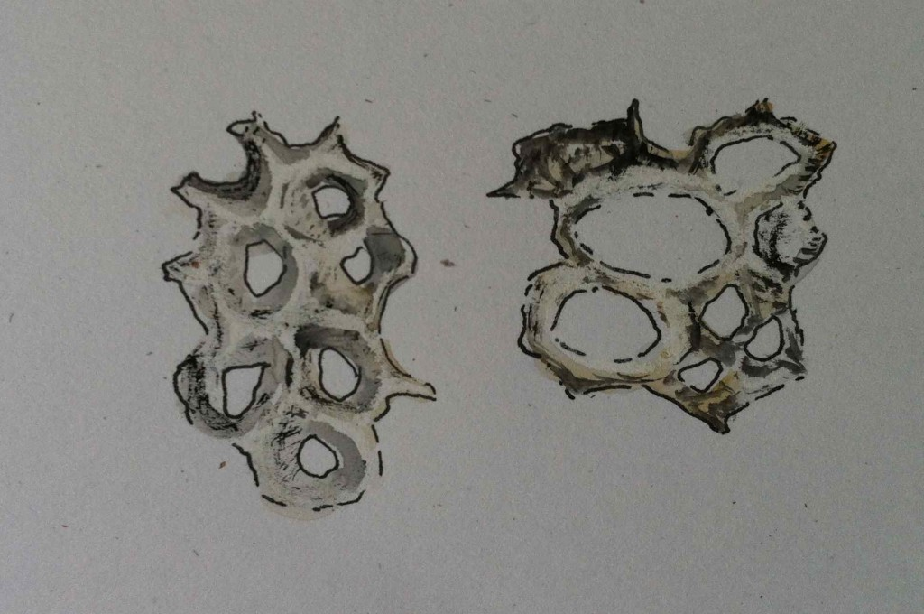Alice Fox barnacle fragment sketches