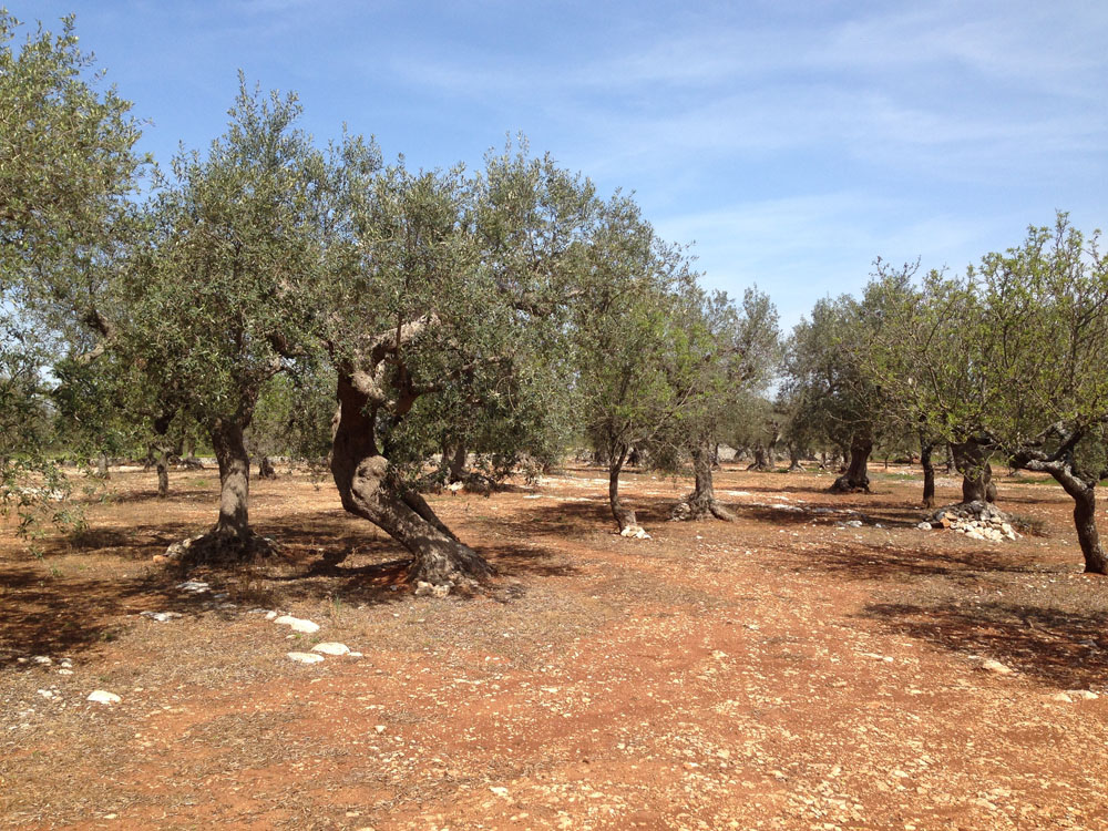 Alice_Fox_Puglia_olive_grove