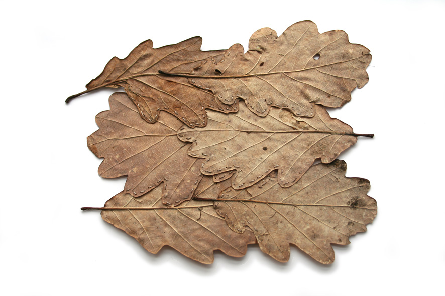 Alice_Fox_Six_Stitched_Oak_Leaves