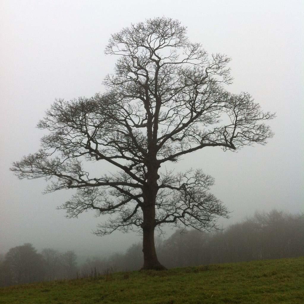 Alice_Fox_oak_tree_Christmas_day