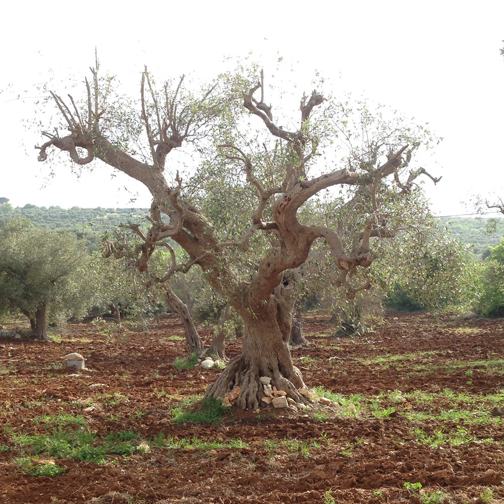 Alice_Fox_old_olive_tree